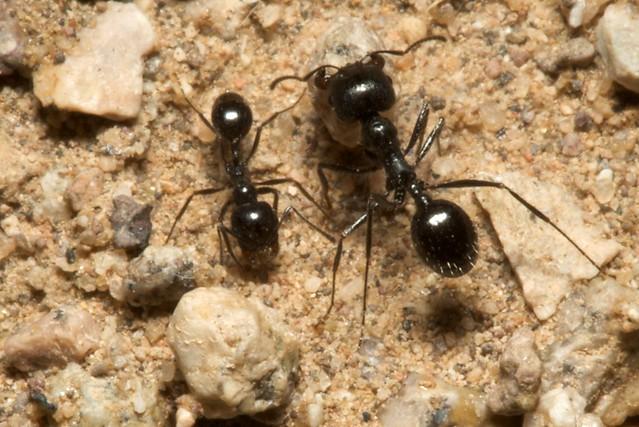 Harvester ants - photo#49