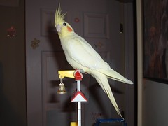 cockatoo, animal, parrot, yellow, wing, pet, cockatiel, bird,