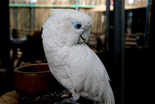 white parrot | by haziqfitri