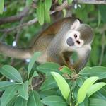 Brazilian Squirrel Monkey