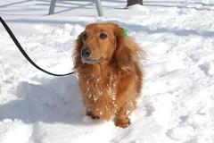 dog breed, animal, dog, snow, pet, mammal, irish setter, setter, english cocker spaniel, golden retriever,