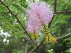 wildbottlebrush
