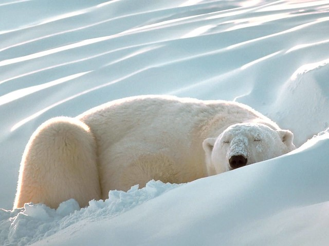 Polar Bear Hibernation | Flickr - Photo Sharing!