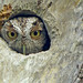 peek-a-boo screech by Jeff's Digiscoped Wildlife pics
