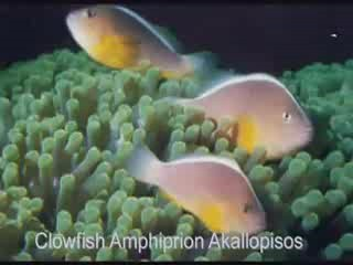 Types of clown fish clown fish care clownfish and anemone flickr photo sharing - Anemone species caring color refinement ...