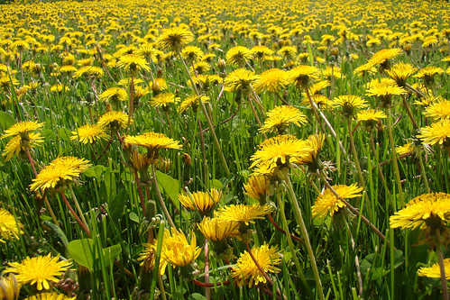 flower nature yellow rural outdoors spring may manitoba dandelion vita 2011