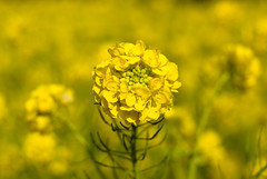 prairie(0.0), vegetable(0.0), produce(0.0), food(0.0), canola(1.0), agriculture(1.0), flower(1.0), field(1.0), yellow(1.0), sunlight(1.0), mustard plant(1.0), brassica rapa(1.0), plant(1.0), mustard(1.0), macro photography(1.0), herb(1.0), wildflower(1.0), close-up(1.0), crop(1.0), meadow(1.0), rapeseed(1.0),