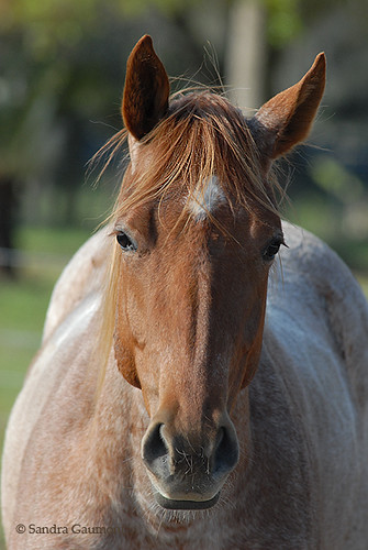Strawberry Roan | Flickr - Photo Sharing! - photo#29