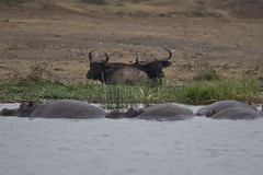 adventure(0.0), elk(0.0), cattle-like mammal(1.0), water buffalo(1.0), wildebeest(1.0), horn(1.0), herd(1.0), fauna(1.0), safari(1.0), wildlife(1.0),