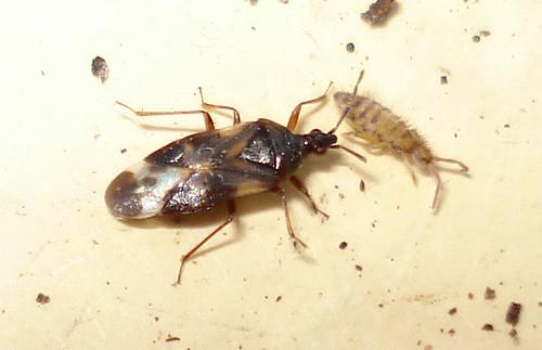 DSC00034 Heteroptera: Anthocoris nemoralis