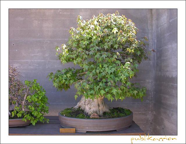 museo del bonsai jard n japon s alcobendas madrid