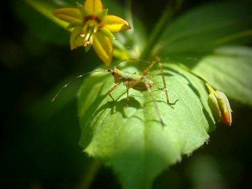 immature tree cricket