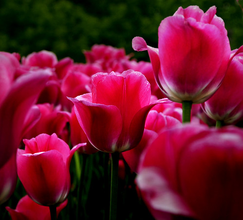 Tulips:Angst at the PS Suite EMR User Conference May 29-31 in Markham, Ontario
