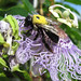 Bumble Bee on Passion Flower