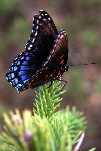 Red spotted purple, Basilarchia astyanax