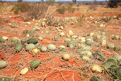 Afghan Melons