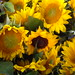 Sunflowers from Anderson Orchards