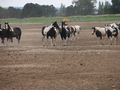 ranch horse usa holiday colorado paint 2006 rockymountains norwood americanpainthorse kajvin lazywjranch breeading