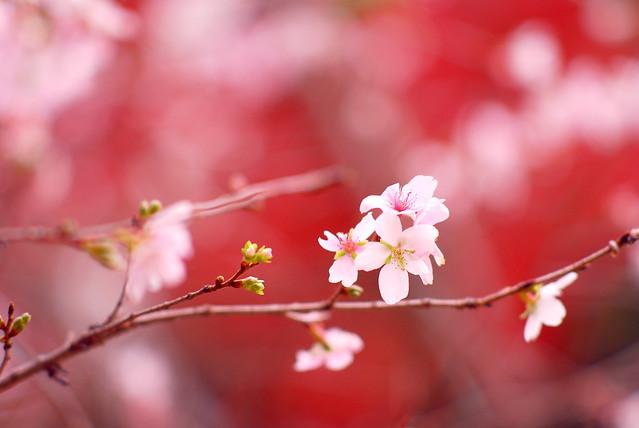 Prunus Subhitella 十月桜