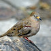 Croaking Ground-dove - Photo (c) David Cook Wildlife Photography, some rights reserved (CC BY-NC)