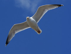 animal, albatross, wing, european herring gull, gannet, beak, bird, flight, seabird,