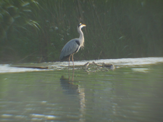 The Morning Heron