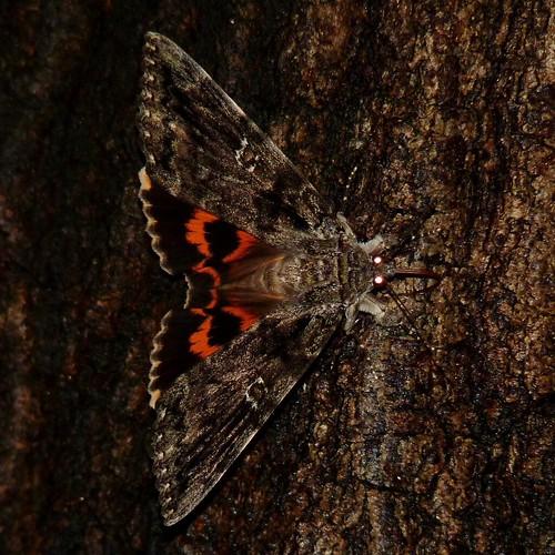 insect newjersey spring moth nj lepidoptera arthropoda invertebrate arthropod mercuryvaporlamp insecta keystonepark underwing eastbrunswick middlesexcounty erebidae mothlight erebinae noctuoidea catocalailia iliaunderwing catocalini friendsoftheeastbrunswickenvironmentalcommission