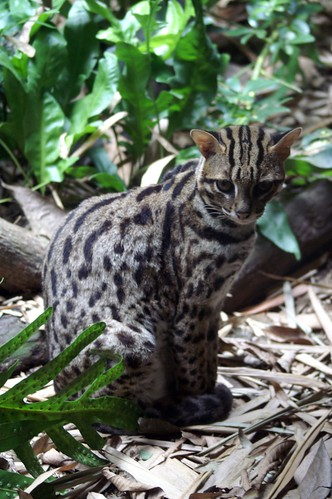 Leopard Cat: Singapore Zoo