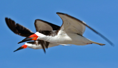 bird beach birds florida wildlife blackskimmer rynchopsniger blueribbonwinner ourmasterpieces