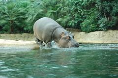 Berlin Hippopotamus
