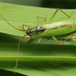 Teratocoris antennatus