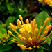 Ixora (species?), Sea World, Orlando, Florida