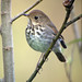 Hermit Thrush - Photo (c) Jamie Chavez, some rights reserved (CC BY-NC)