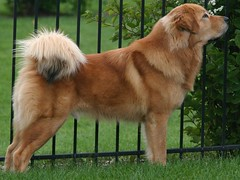 Agramonte & Sagua, Tibetan Mastiffs