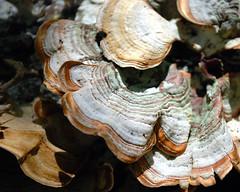Woodland lichen