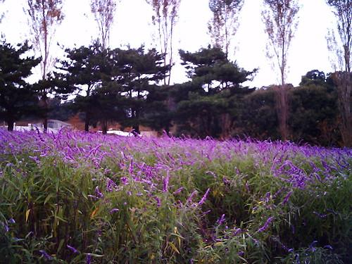 アメジストセージ(Salvia leucantha)