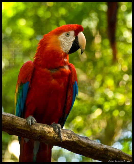 Black and red parrot