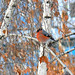 Bullfinch sitting on the birch