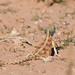 Small photo of Ground agama