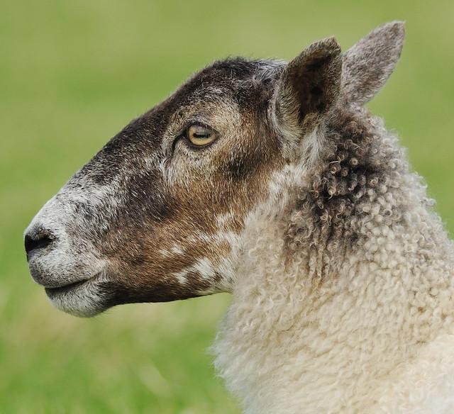 Sheep Profile Grasmere Cumbria August 2009   Flickr ...