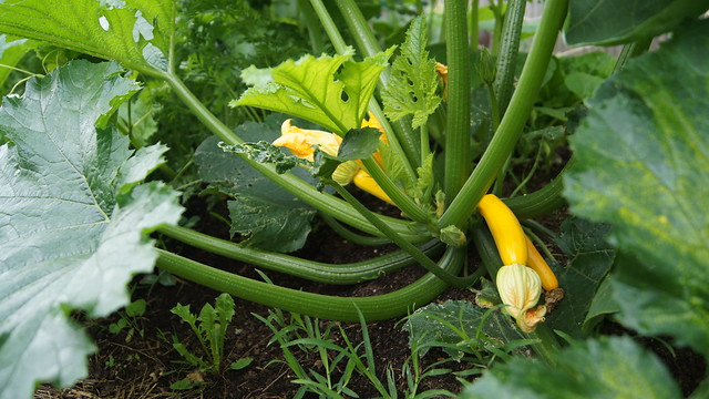 Squash in the Children's Garden. Photo by Alexandra Muller.