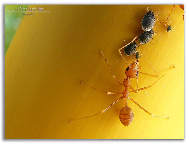 Ants and Aphids