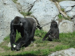 More gorillas