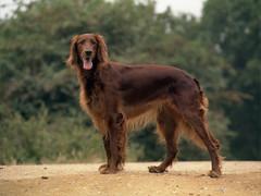 dog breed, animal, dog, pet, field spaniel, irish setter, setter, picardy spaniel, hunting dog, carnivoran,