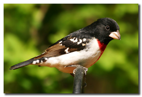 Beautiful Grosbeak