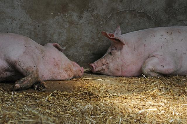 Two Sleeping Domestic Pigs, Sus scrofa domestica, Cannon Hall Farm, Barnsley, South Yorkshire