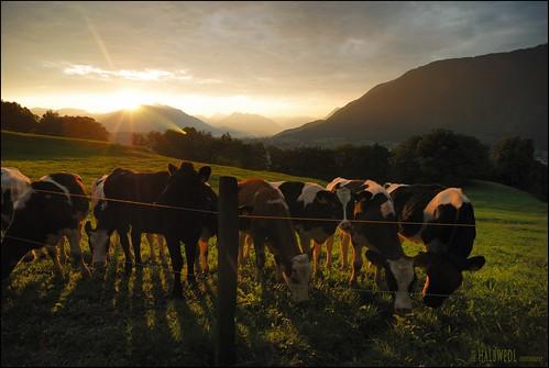 sunrise austria bravo chapeau paradies vorarlberg goldensunrise herdofcalves