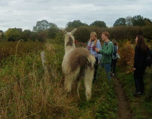 Llama out for a walk