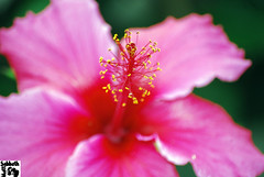 flower, red, plant, malvales, macro photography, flora, chinese hibiscus, close-up, pink, petal,