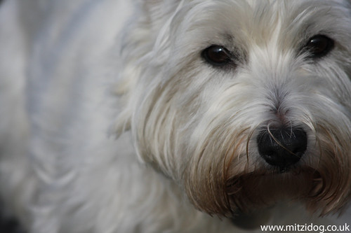 Westies are great dogs